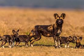 Image result for wild dogs africa