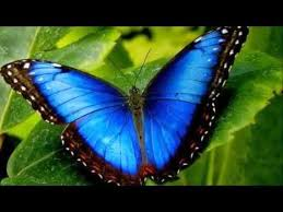 most beautiful butterflies in the world animated. Brilliant Butterflies Top 12 Most Beautiful Butterflies In The World And Most Beautiful Butterflies In The World Animated YouTube
