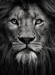 lion portrait black and white. Perfect Black A Link To A Simply Majestic Photo  Portrait Of King On Lion Black And White