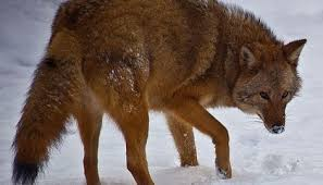 Wolf Species Size Chart Coywolves Are Taking Over Eastern North America Smart News