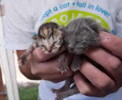 animal shelter kittens. Contemporary Shelter Coping With Kitten Season On Animal Shelter Kittens A
