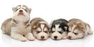 siberian husky newborn puppies.  Puppies Pictures Of Huskies Throughout Siberian Husky Newborn Puppies O