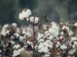 Cotton Spot Price Chart Cotton Price Cotton Takes Support At Msp As Arrivals Pick