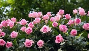 flower beautiful rose wallpaper nature