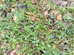 Polygonum aviculare - Michigan Flora