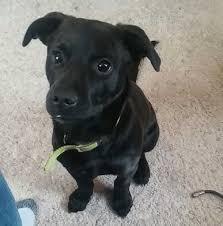 jack russell terrier mix black.  Mix Black Jack Russell Terrier Mix U2013 Cbru With Jack Russell Terrier Mix Pinterest