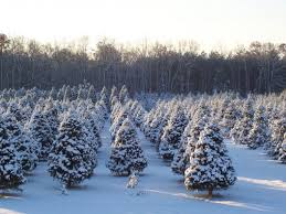 49 Best CT Grown Christmas Trees Images On Pinterest  Christmas Local Christmas Tree Lots