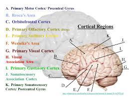 cortical regions a b c d e f g h i j k a cortical regions a b c d e f g h i j k a primary motor