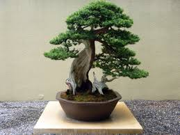 bonsai tree for office. Whenever The Word Bonsai Is Heard, First Thing That Comes To Almost Everyone\u0027s Mind Picture Of A Small Tree Growing On Tiny Pot, For Office 2