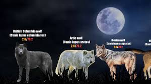 Wolf Species Size Chart 39 Expository Dire Wolf Size Chart
