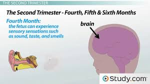Prenatal Stages Of Brain Development