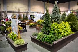 weeping nootka cypress 20m high 5m wide a striking tall growing evergreen with unusual pendulous branches magnificent lawn specimen full sun t