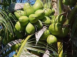 welcome to the land of coconuts mind scribbles the