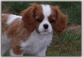cavaliers dogs.  Cavaliers We Are Hobby Breeders Of Cavaliers And Enjoy Showing Our Dogs In The AKC Inside Dogs U