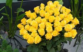 symbolism behind yellow roses