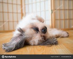 Lazy Dog Funny Shih Tzu Dog Sleeping ...