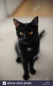 black cats with yellow eyes kitten. Simple Cats Close Up Of Black Cat With Yellow Eyes  Stock Image To Black Cats With Yellow Eyes Kitten L