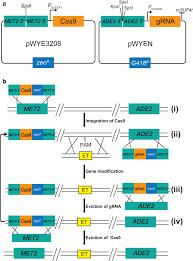 Genome Editing Efficient Crispr Cas9 Mediated Multiplex Genome Editing In Yeasts