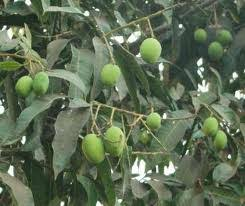 medicinal plants aam n medicinal plants and their uses  medicinal plants aam n medicinal plants and their uses mangoes tree a mango tree herbal medicinal plants herbal plants herbs uses of medicinal plant