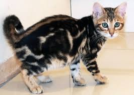 marble bengal cat. Interesting Bengal Bengal Kitten Sittingpretty Foxy Brown For Marble Cat