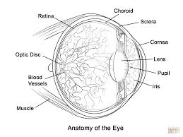 Small Picture Human Eye Anatomy Coloring Page Free Printable Coloring Pages