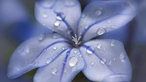 Desktop wallpaper blue flower, water ...