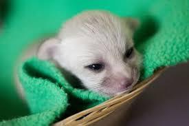 newborn fennec fox. Delighful Newborn Newborn Fennec Fox Throughout Fennec Fox B