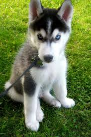 cute dogs and puppies husky. Delighful Husky 40 Cute Siberian Husky Puppy Pictures 6 On Dogs And Puppies H