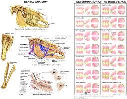 Teeth Age Chart Equine Dental Anatomy Chart Horse