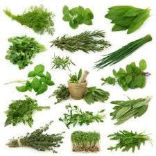 herbs for the allotment edible garden