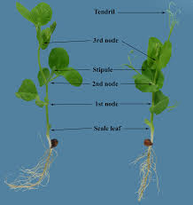 Cotton Growth Stage Chart A Visual Guide To Key Stages In The Growth And Maturity Of