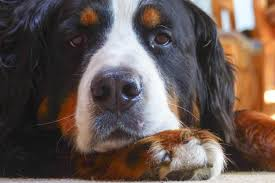 cancer in dogs symptoms and treatment