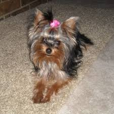yorkshire terriers or yorkies are an excellent choice for an indoor panion dog what began as a breed to hunt rats in the factories of 18th century