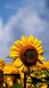 Sunflowers Iphone Wallpaper - Khao Yai ...