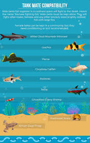 Betta Fish Chart Betta Fish Care