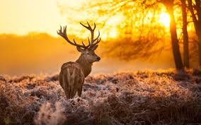 fall nature backgrounds with deer. Beautiful Stag Natural Backgrounds Intended Fall Nature With Deer