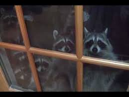 Raccoons In Vending Machine Fascinating Annie's Scary RaccoonsYvonne Chirogirl48 Filming YouTube