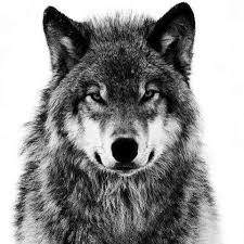 wolf face black and white. Beautiful Black Black And White Wolf And Face