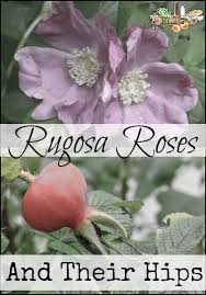 rugosa roses l delicious rose hips easy to maintain the perfect rose l