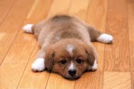 cutest corgi puppy. Exellent Puppy On Cutest Corgi Puppy I