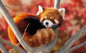 Animal Red Panda Wallpaper - Resolution ...