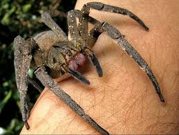 Spiders Are Top Of The Global Predator Chart