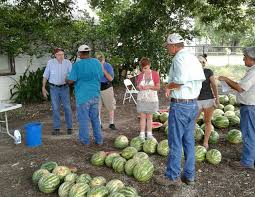 texas a m agrilife extension service personnel and bexar county master gardeners collaborated with the san antonio food bank on the recent melon trial