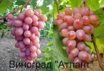 Если виноград вяжет