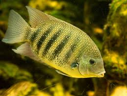 Small Picture Asian Cichlids