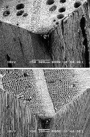 sem images showing the presence of pores in hardwoods oak top and absence in softwoods pine bottom