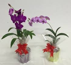 dendrobium plant gift small 1 stalk flower color may varies