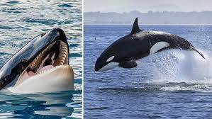 Orca Apex 2 Size Chart The Animal From Which Great Whites Flee 5 Killer Records