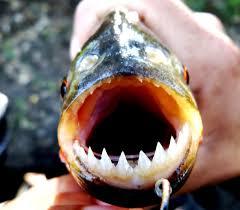 amazon river piranha. Brilliant Amazon The  For Amazon River Piranha E