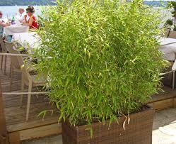 Das Wachstum Und Die H He Von Bambus Bambus Wissen Was Ist